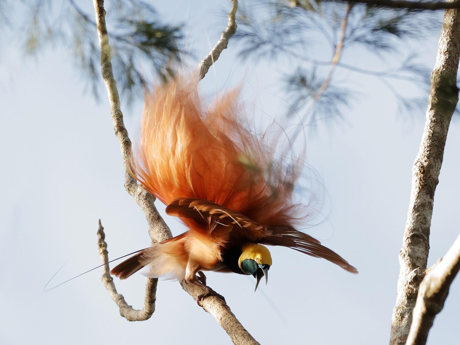 Raggiana Bird-of-Paradise - Holger Teichmann