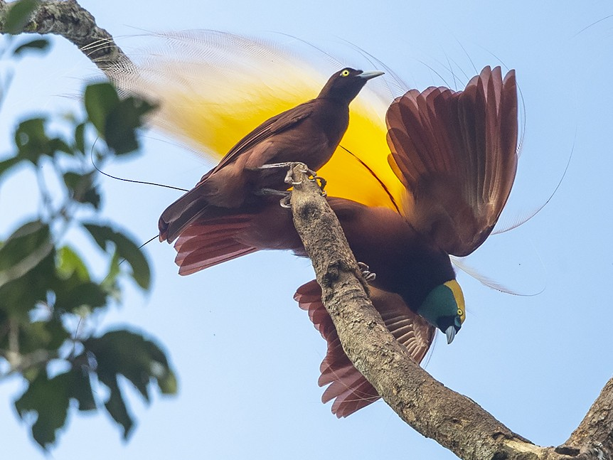 Greater Bird-of-Paradise - Niall D Perrins