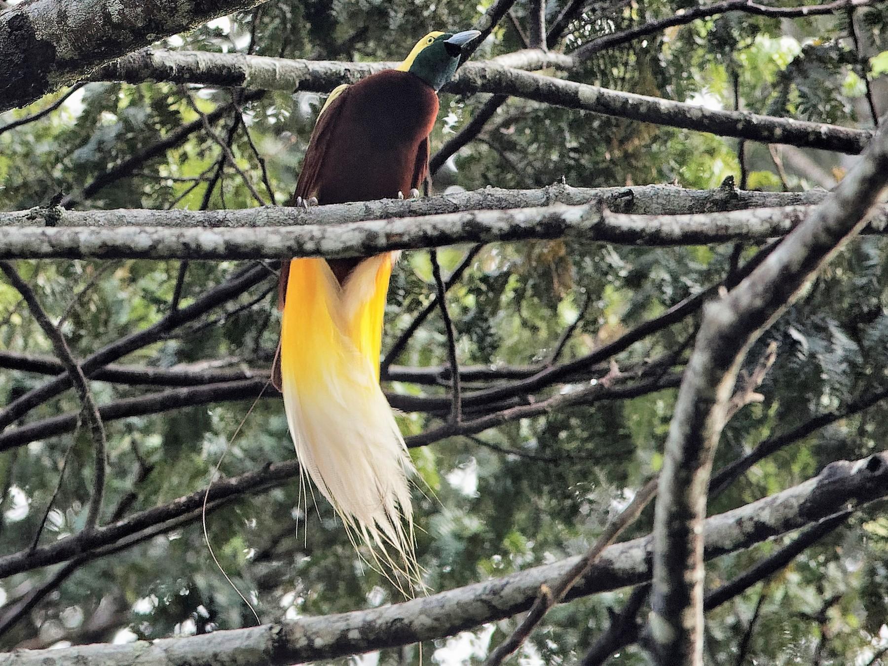 Lesser Bird-of-Paradise - Holger Teichmann