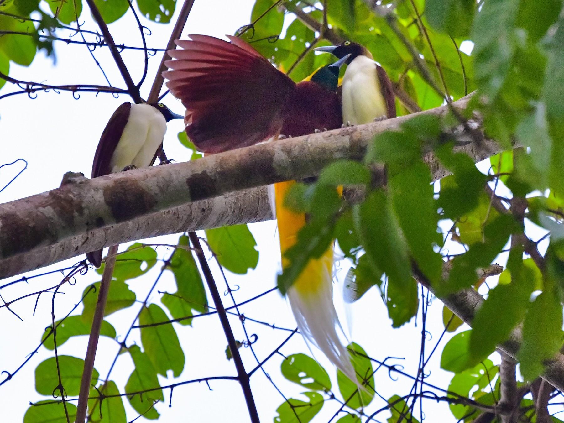 Lesser Bird-of-Paradise - Arco Huang