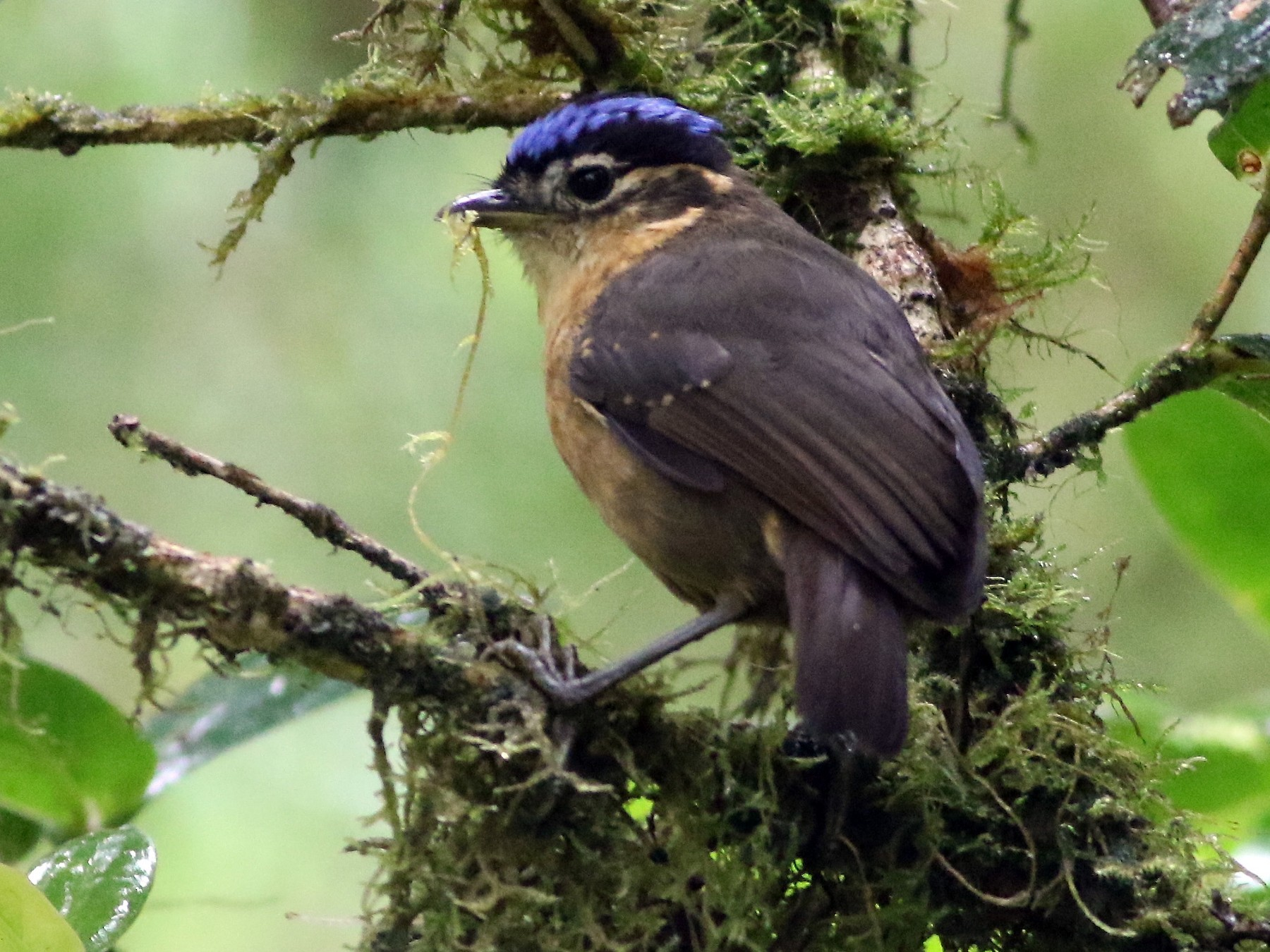 Blue-capped Ifrita - Chris Wiley