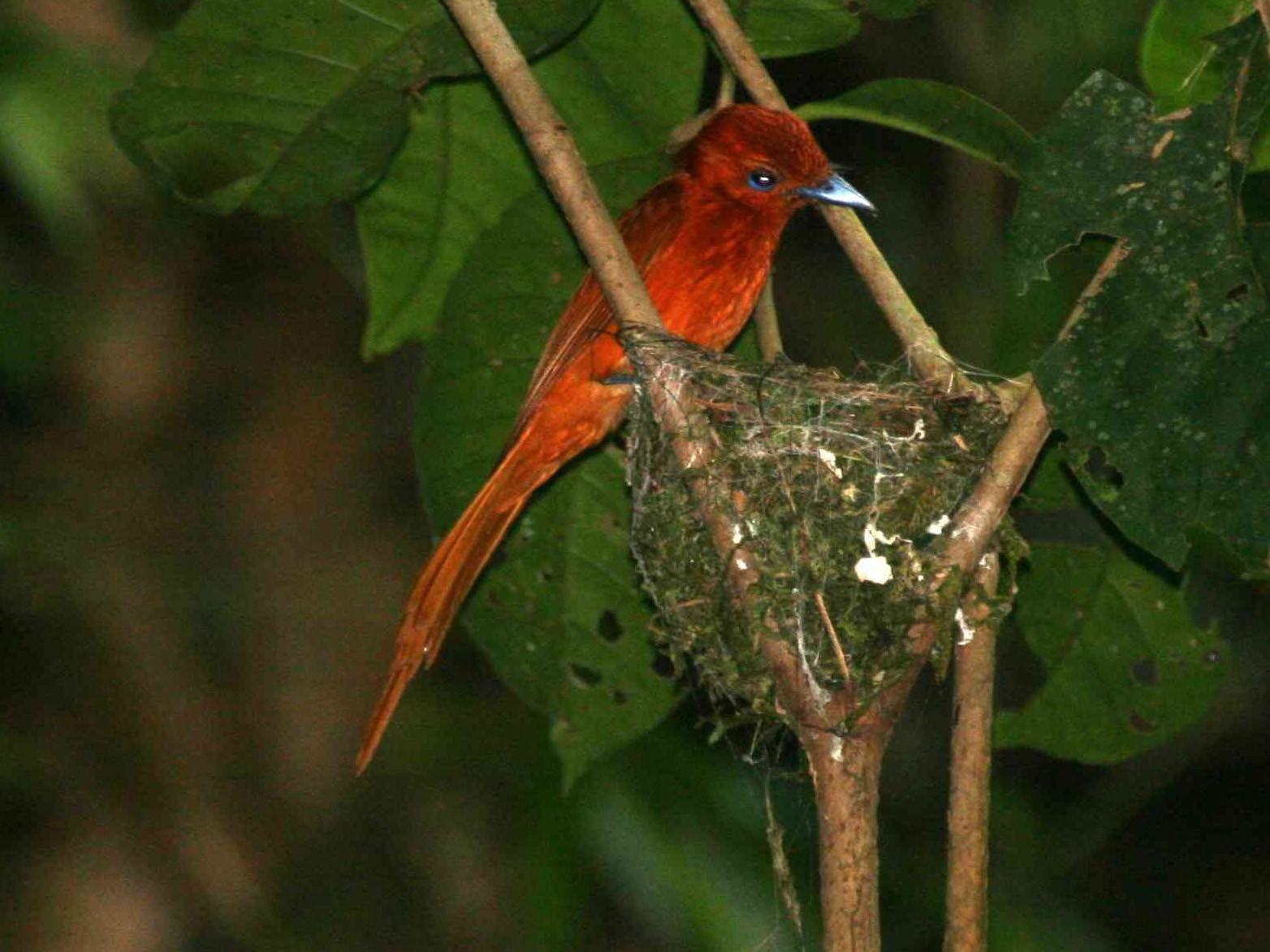 Rufous Paradise-Flycatcher - Desmond Allen