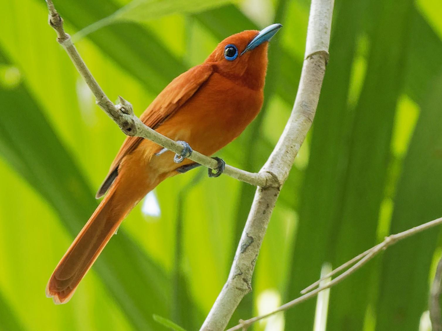 Rufous Paradise-Flycatcher - Vincent Wang