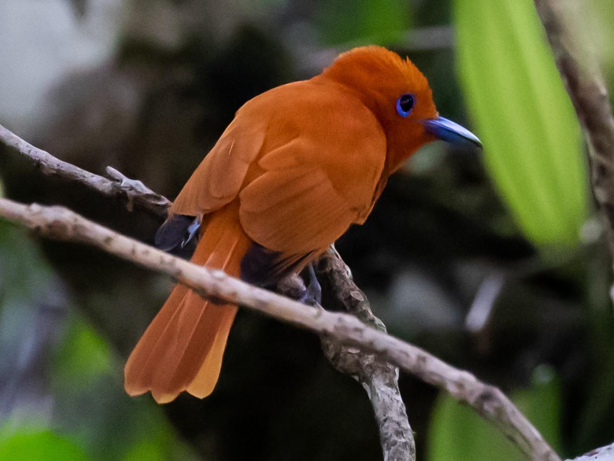 Rufous Paradise-Flycatcher - Ron Hoff Dollyann Myers