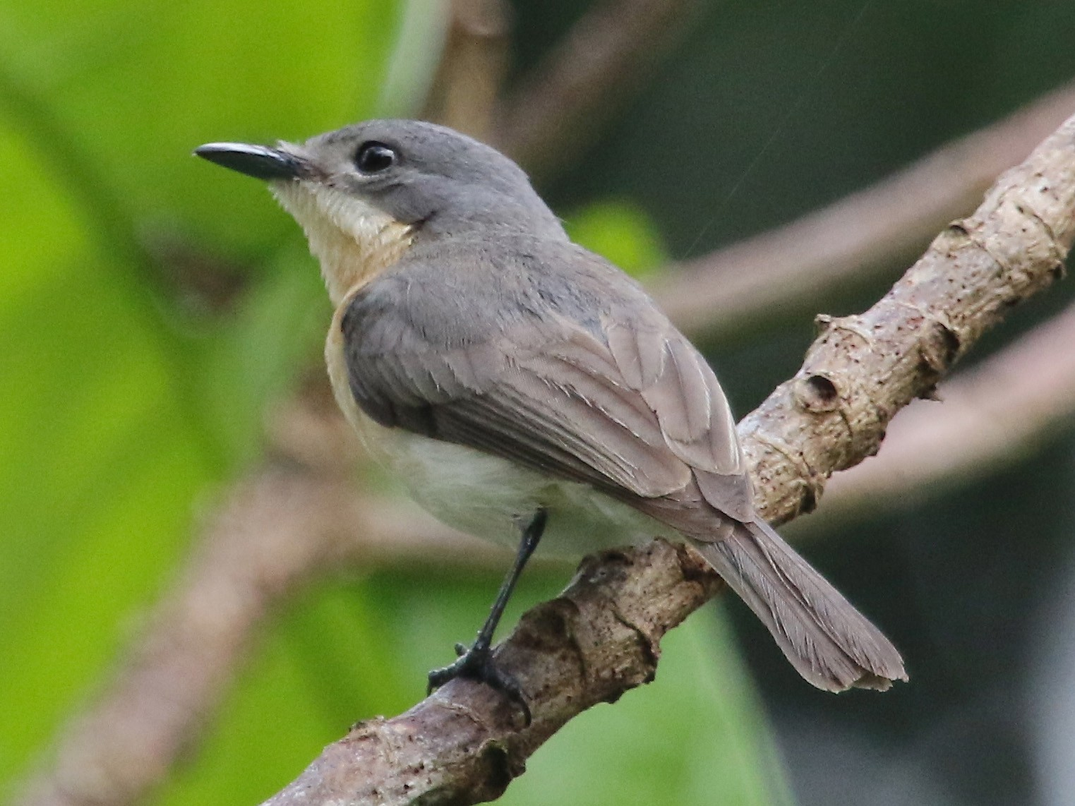 Moluccan Flycatcher - Gil Ewing