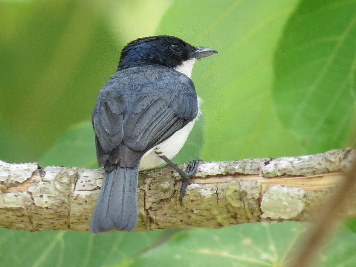Moluccan Flycatcher - André Weiss