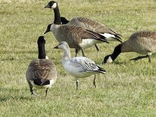 Snow Goose, ML274950071