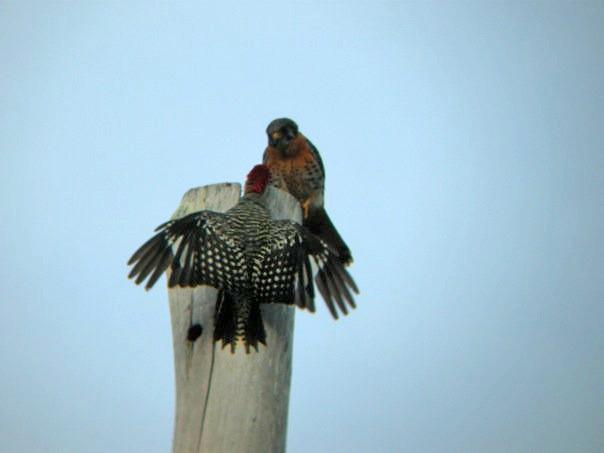Aggressive posture with American Kestrel (<em>Falco sparverius</em>).