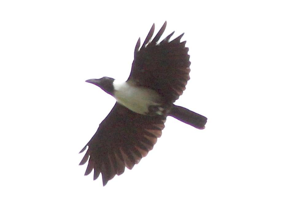 Piping Crow - David Beadle