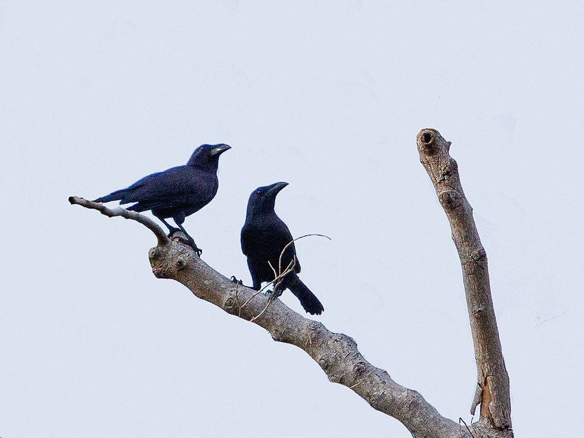 Flores Crow - Andy Walker - Birding Ecotours