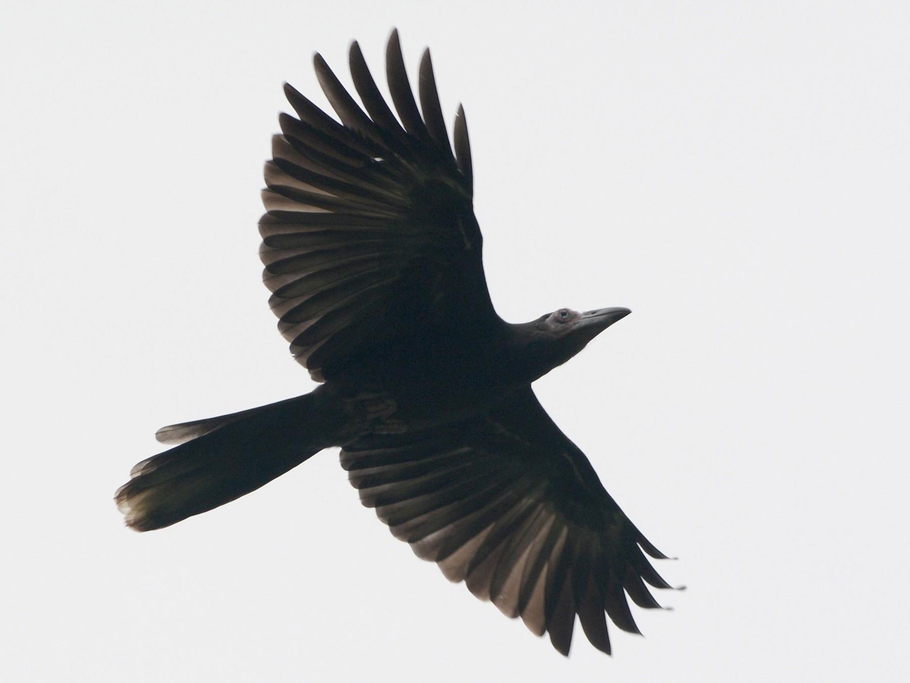 Gray Crow - Cathy Pasterczyk