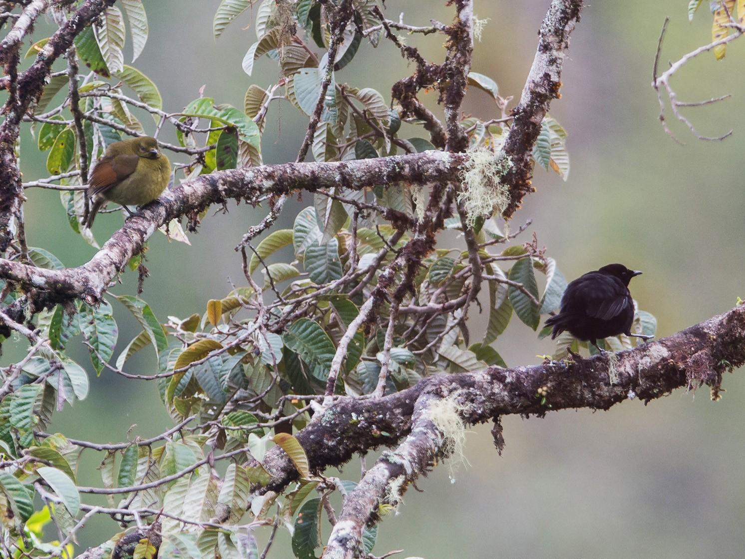 Loria's Satinbird - Thierry NOGARO