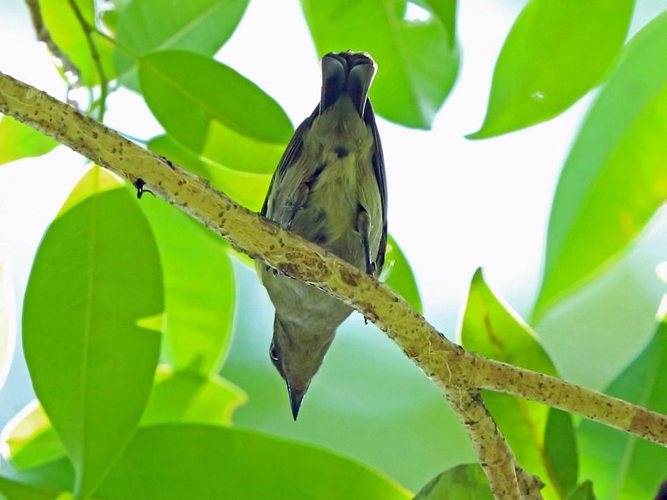 Black Berrypecker - Nigel Voaden