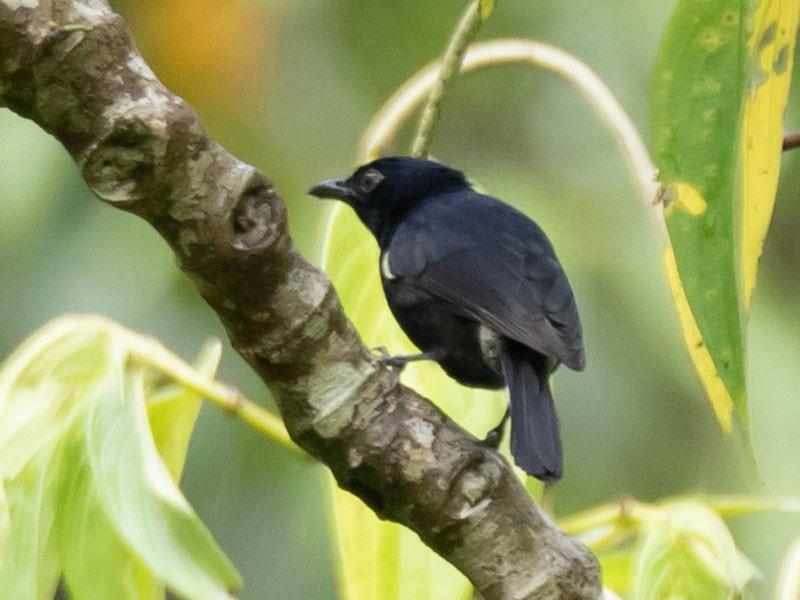 Black Berrypecker - Robert Lewis