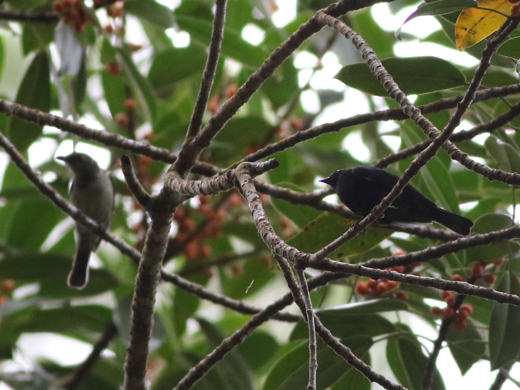 Black Berrypecker - Chris Wiley