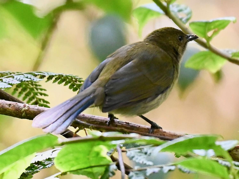 Fan-tailed Berrypecker - Jacques Erard