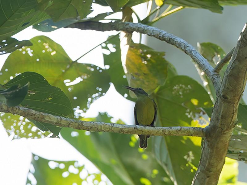 Yellow-bellied Longbill - Jeroen Vanheuverswyn