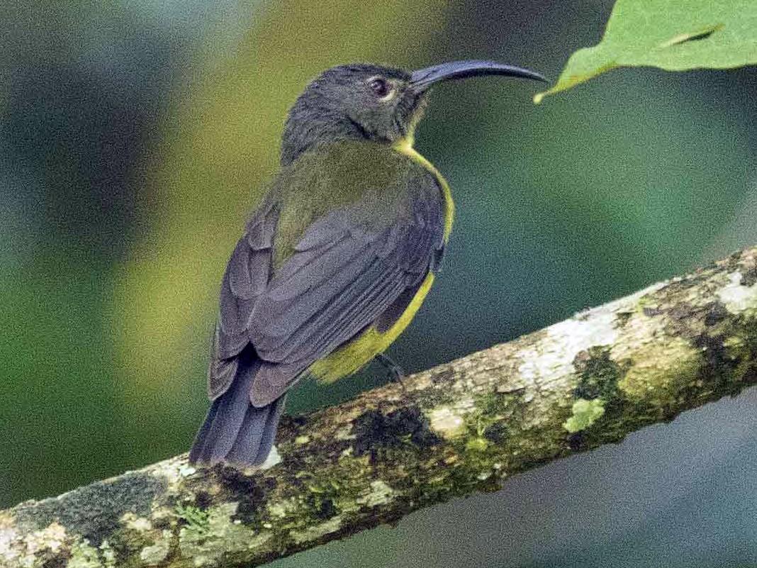 Yellow-bellied Longbill - Eric VanderWerf