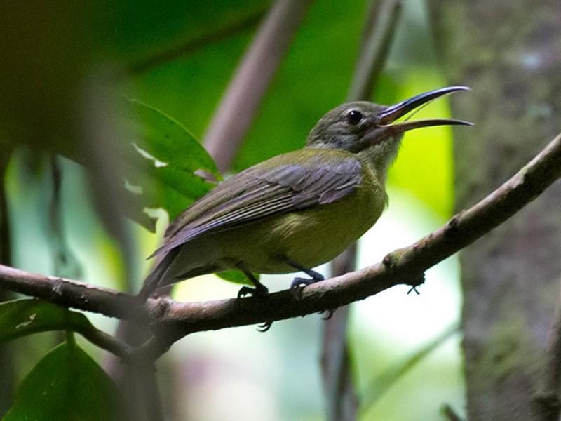 Yellow-bellied Longbill - Lars Petersson