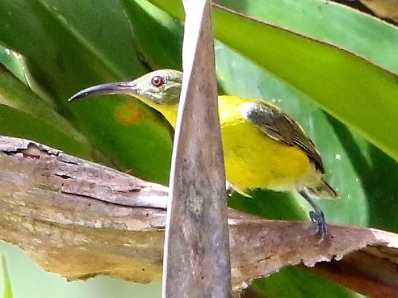 Yellow-bellied Longbill - Bradley Hacker