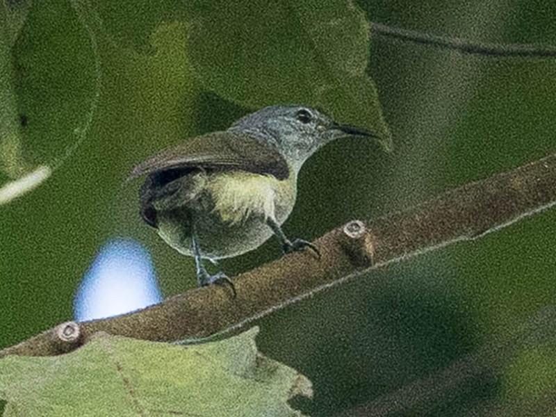 Pygmy Longbill - Eric VanderWerf
