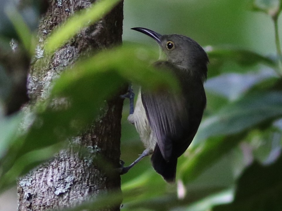 Spectacled Longbill - Chris Wiley