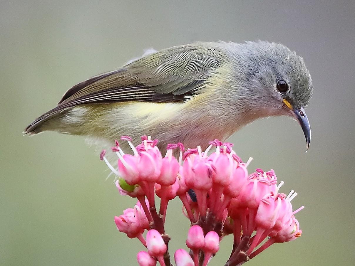 Pygmy Longbill - Carlos Bocos