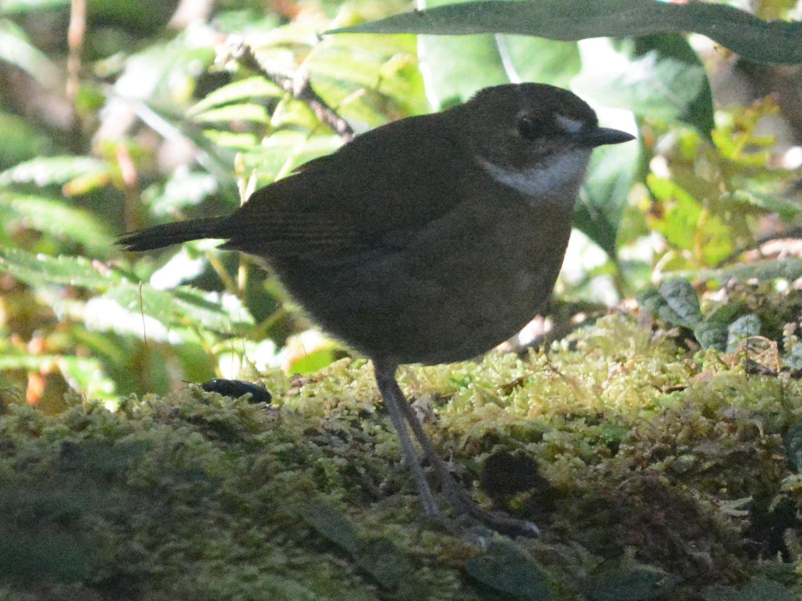 Lesser Ground-Robin - Cathy Pasterczyk