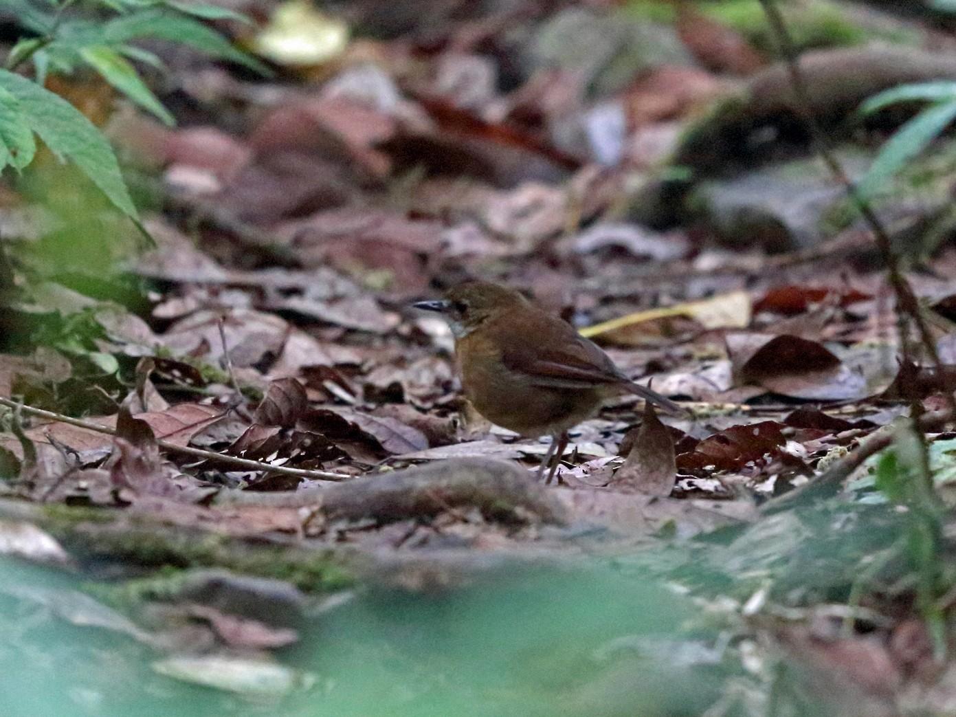 Lesser Ground-Robin - Nigel Voaden