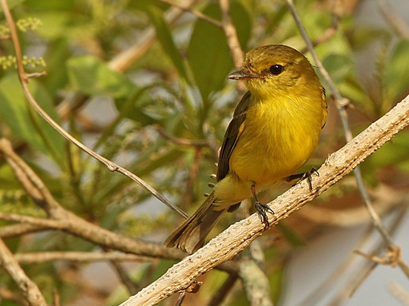 Golden-bellied Flyrobin - James Eaton