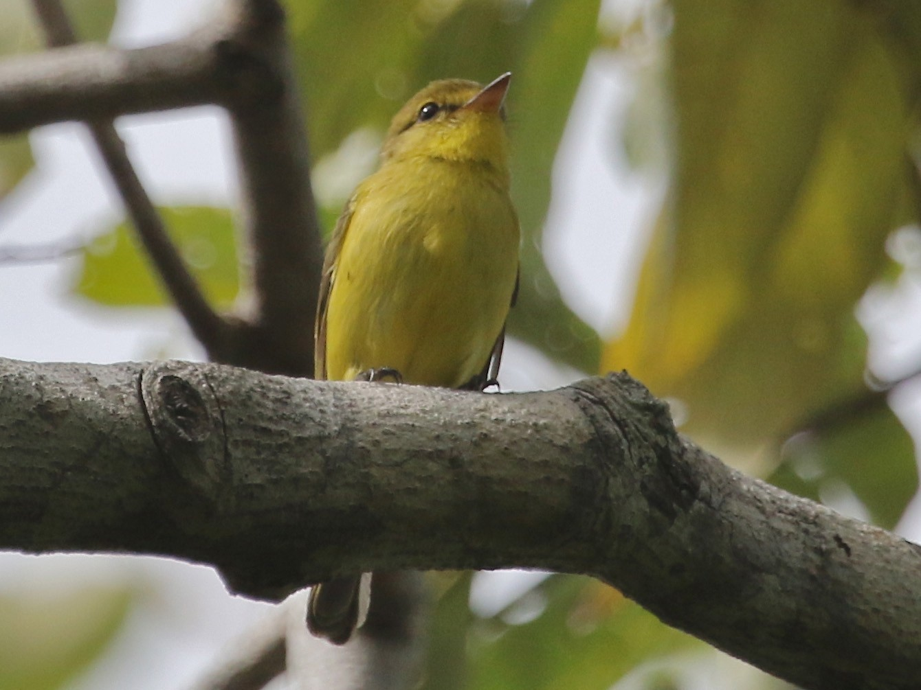 Golden-bellied Flyrobin - Gil Ewing