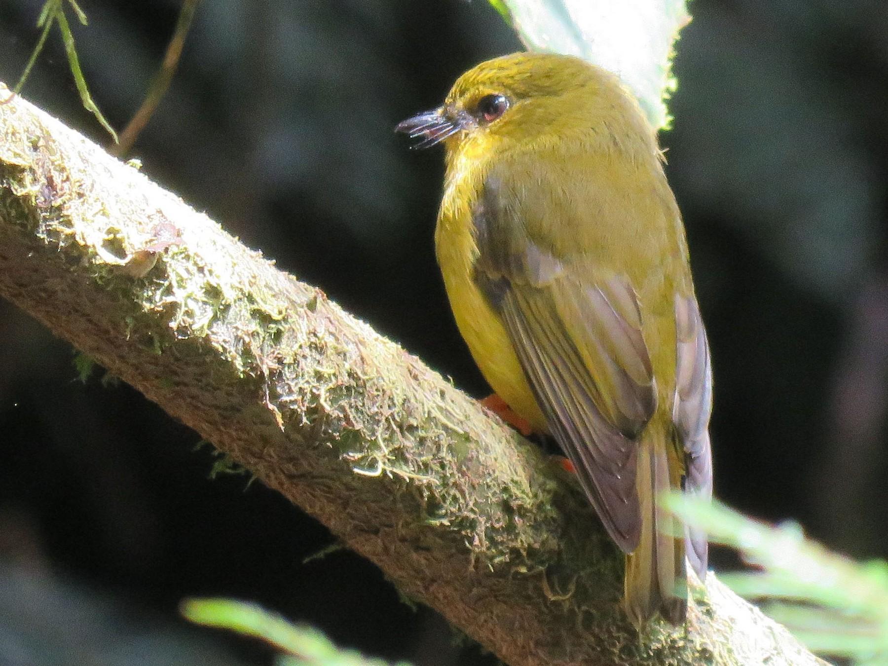 Papuan Flycatcher - Simon RB Thompson