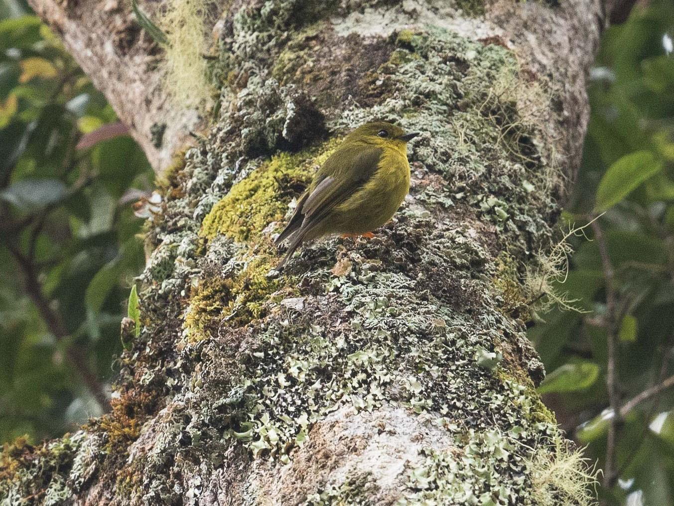 Papuan Flycatcher - Eric VanderWerf