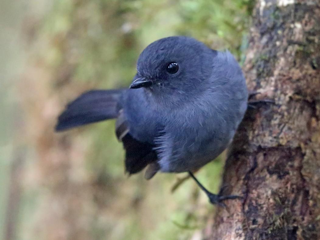 Blue-gray Robin - Nigel Voaden