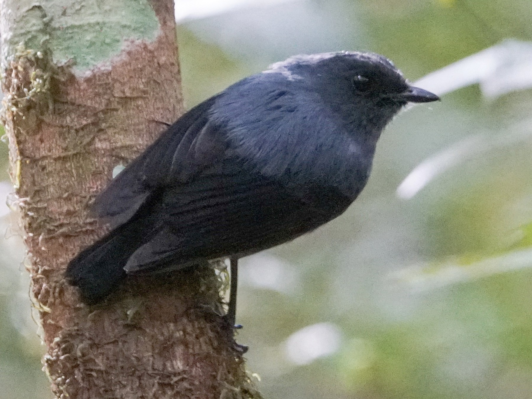 Blue-gray Robin - Arco Huang