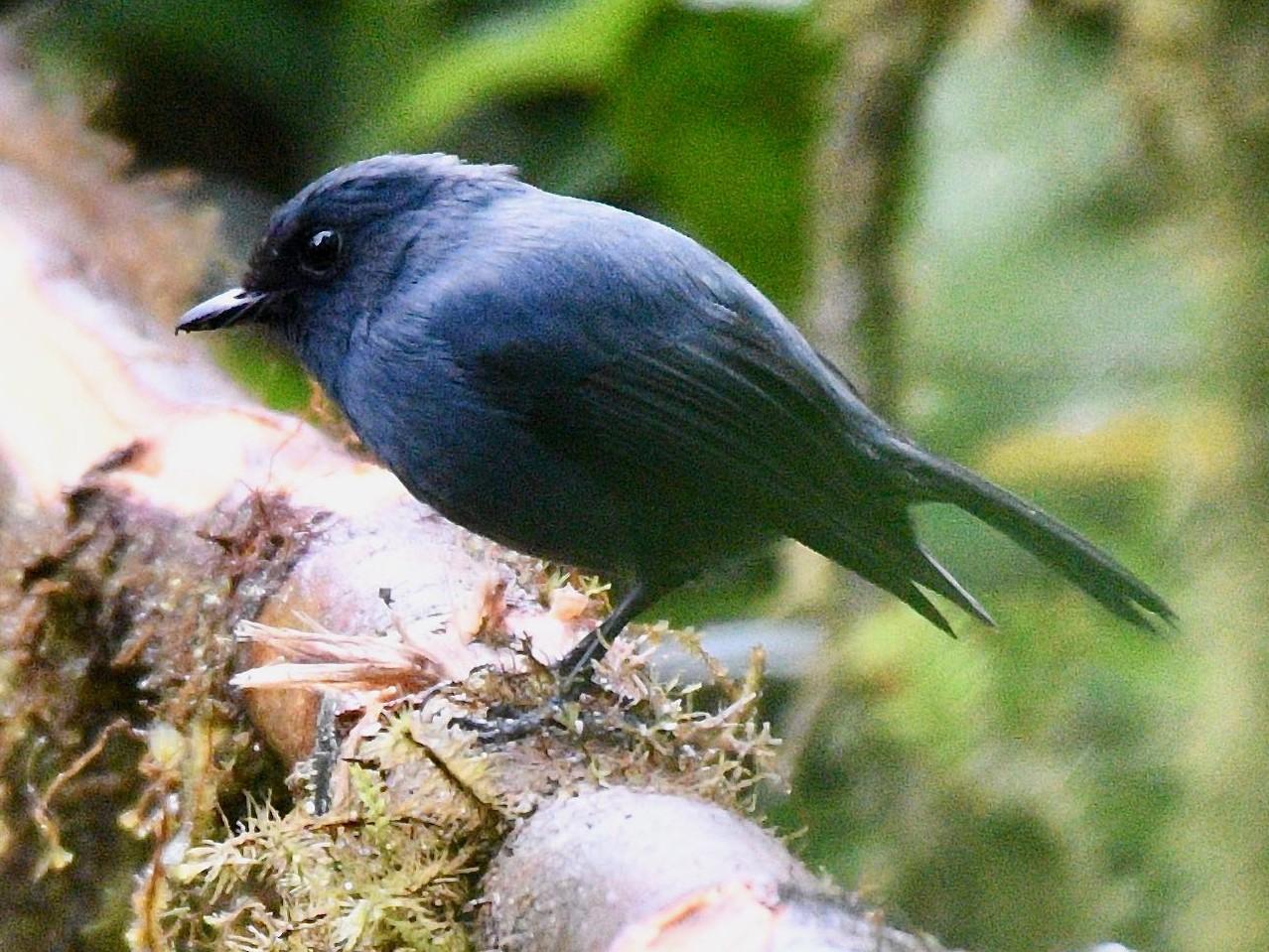 Blue-gray Robin - Jacques Erard