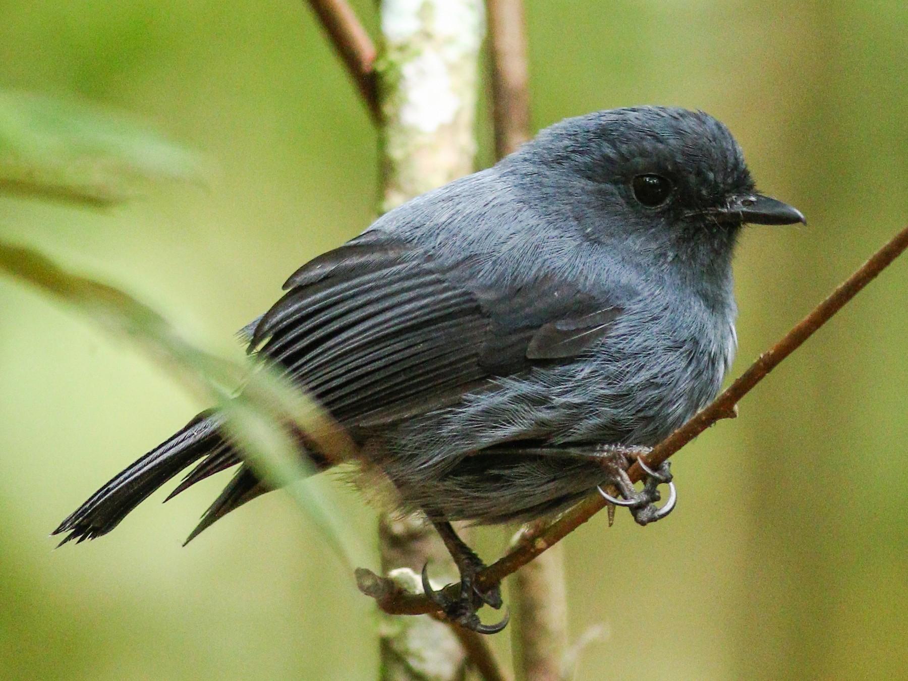 Blue-gray Robin - Wilbur Goh Soon Kit