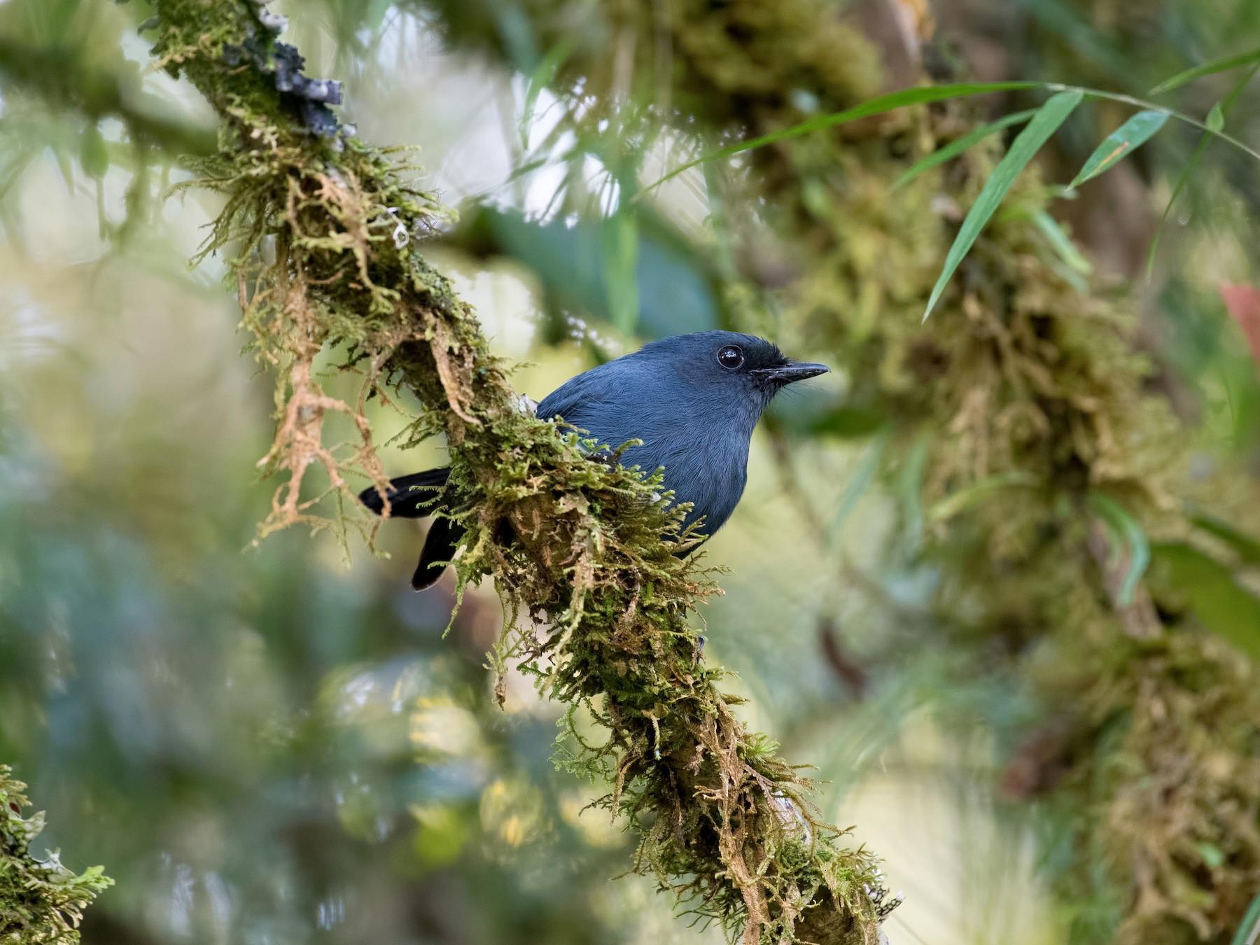 Blue-gray Robin - Shailesh Pinto