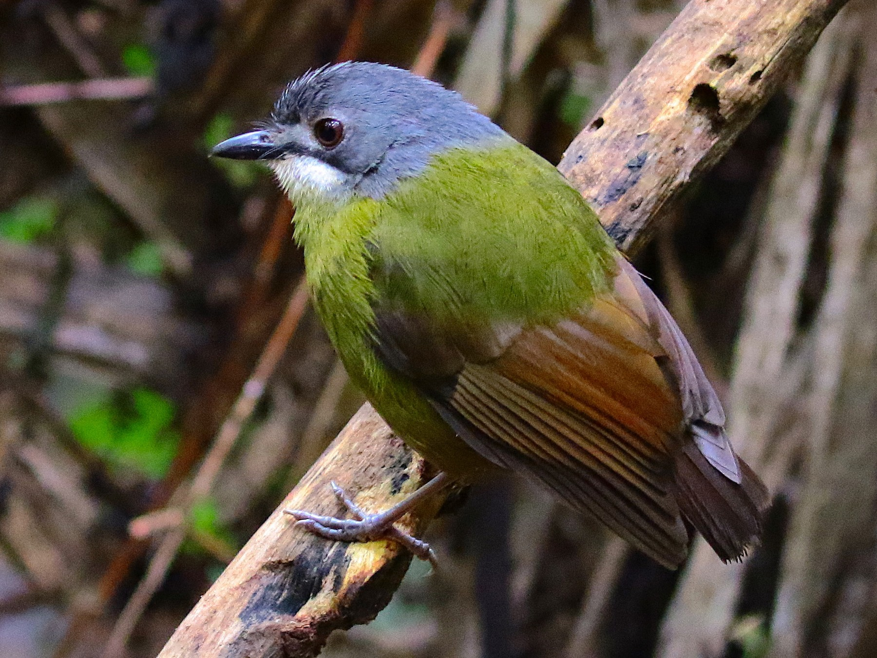Green-backed Robin - Arco Huang