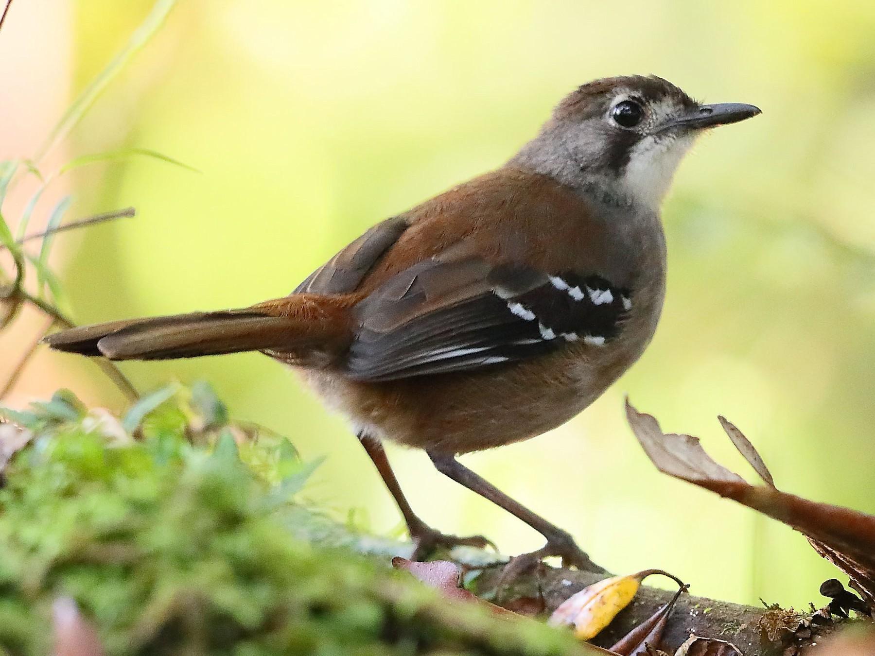 Papuan Scrub-Robin - Carlos Bocos