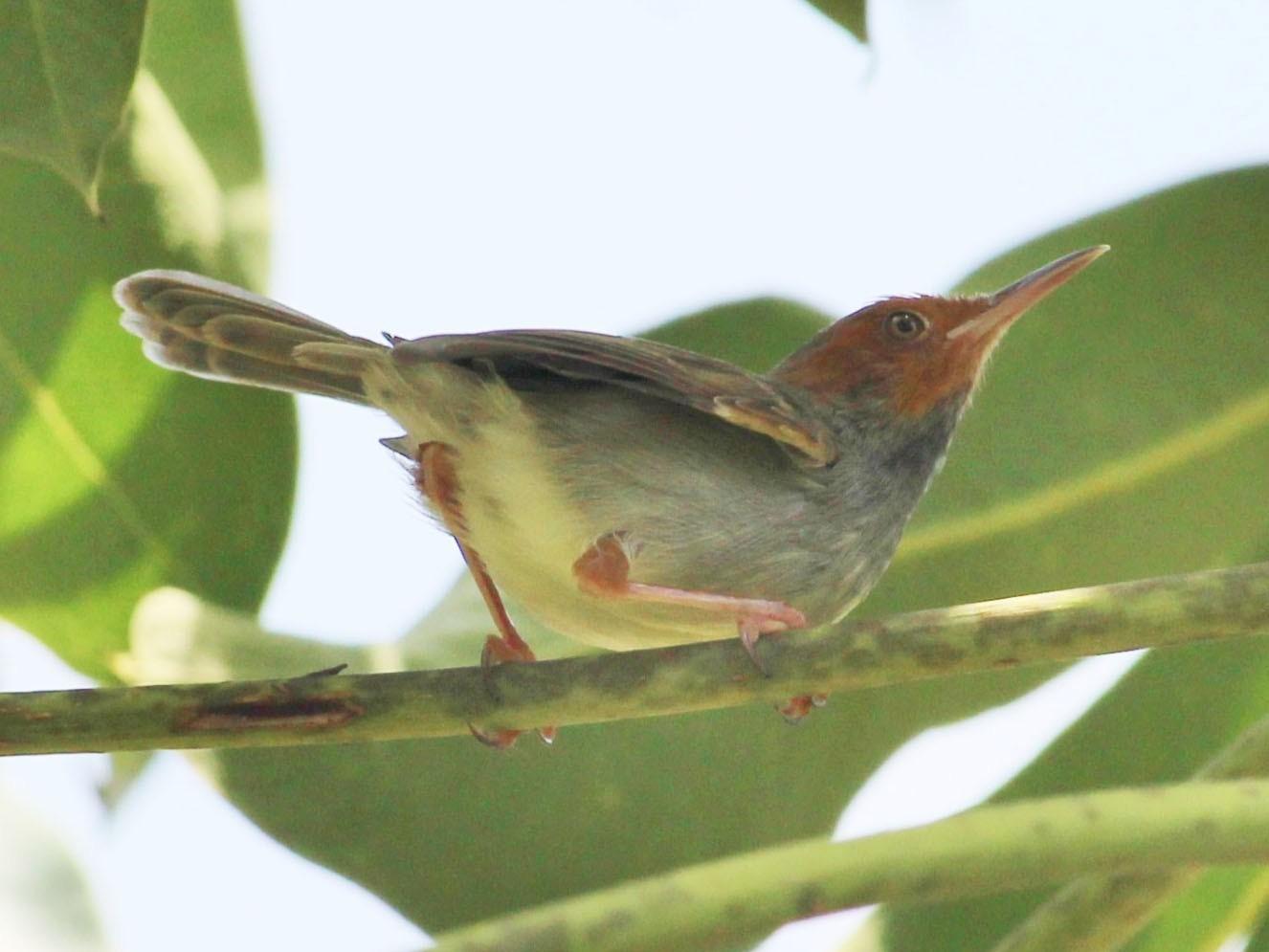 Olive-backed Tailorbird - Bruno Durand