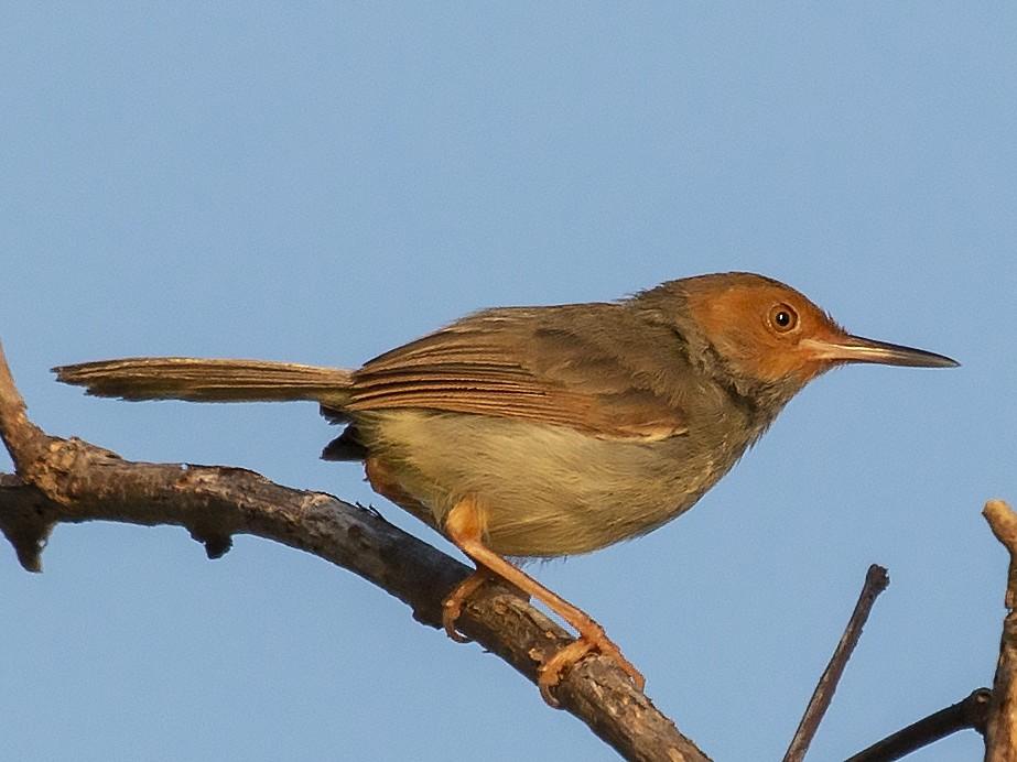 Olive-backed Tailorbird - Bent Rønsholdt