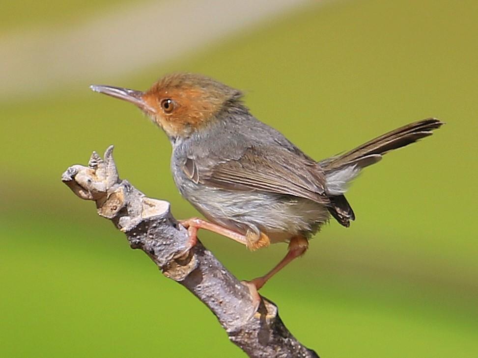Olive-backed Tailorbird - Fanis Theofanopoulos (ASalafa Deri)