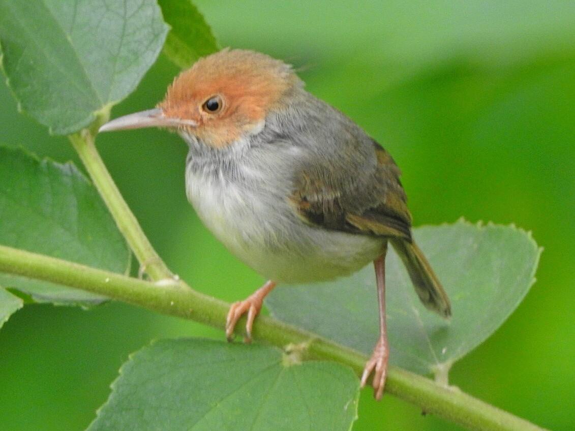 Olive-backed Tailorbird - Yasin Chumaedi