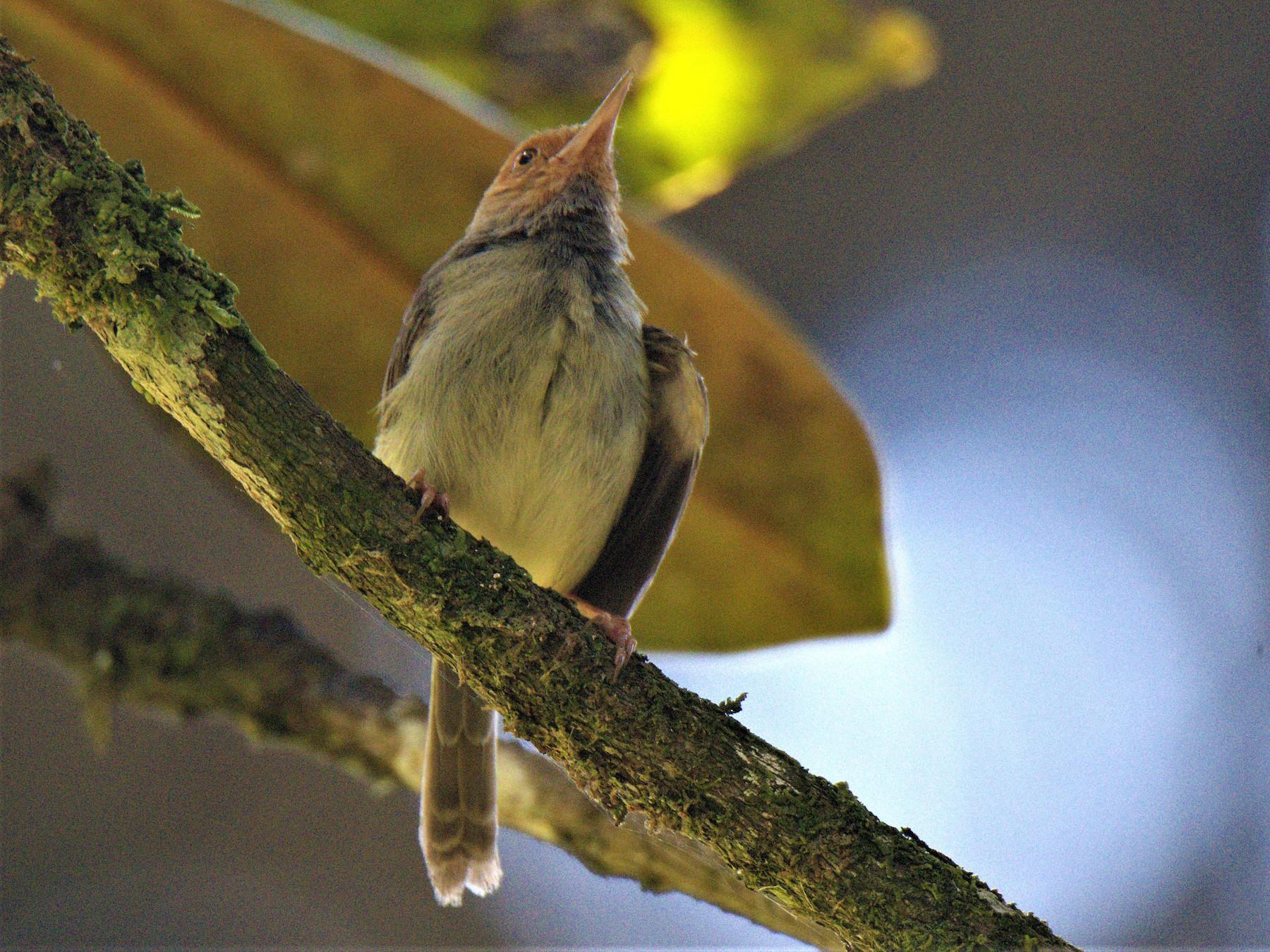 Olive-backed Tailorbird - Venkatesh VT