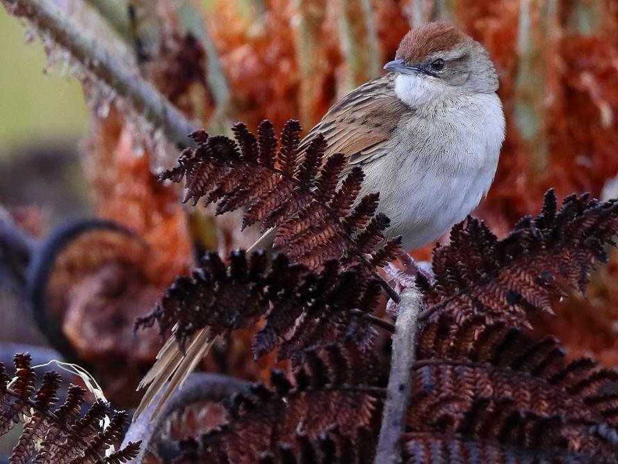 Papuan Grassbird - Carlos Bocos