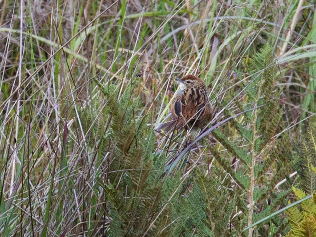 Papuan Grassbird - Lars Petersson