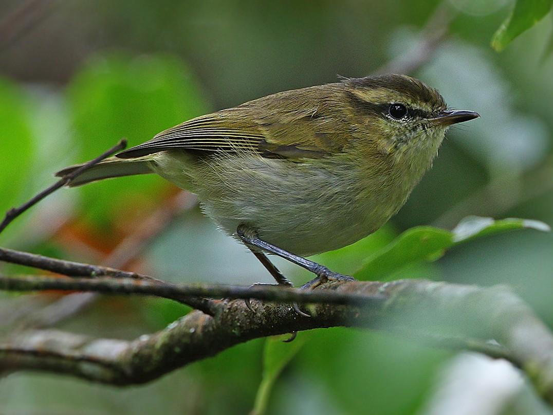Sulawesi Leaf Warbler - James Eaton
