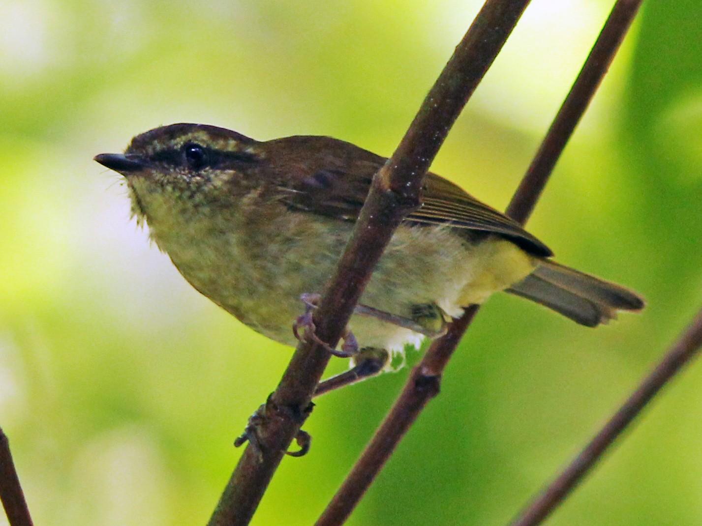 Sulawesi Leaf Warbler - David Beadle