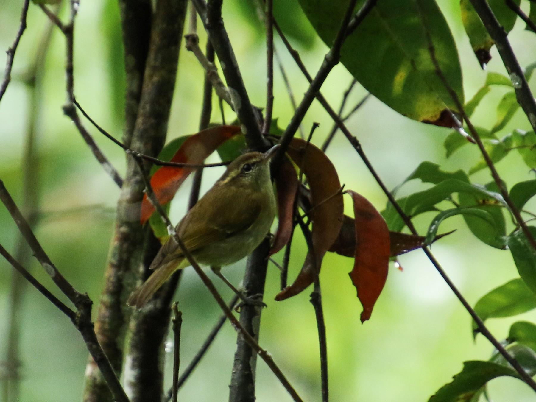 Sulawesi Leaf Warbler - Alex Berryman